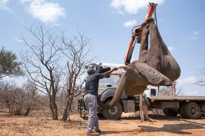 Связанного слона осторожно переносят нагрузовик при помощи подъёмного крана.