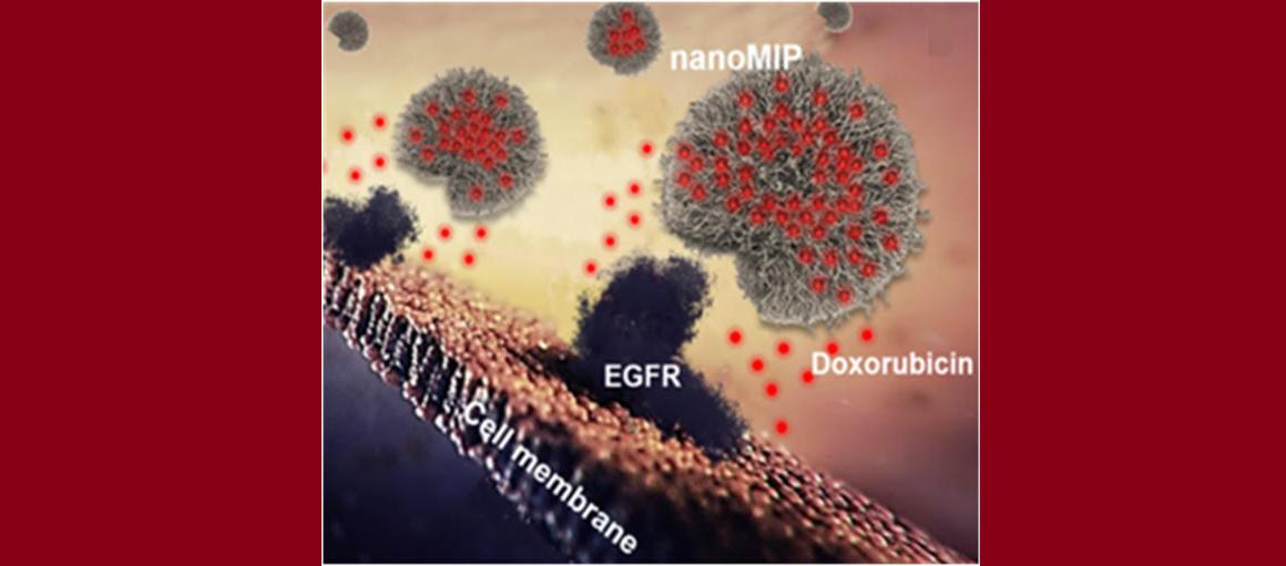 Схема связывания синтезированных nanoMIP споверхностью клетки. Полимерные наночастицы специфично связываются сEGFR, вто время как доксорубицин (показан красным) выходит из наночастиц ипроникает через клеточную мембрану.