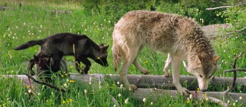 Волчата учатся всему устарших членов стаи, стараясь максимально точно повторять все действия. || Фото: National Geographic