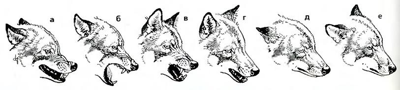 Изменение мимики волка взависимости от передаваемой информации: от агрессивной защиты (а) через крайнюю степень защиты (б) кочень вызывающей (в), игривой (г),подчинённой (д) идружественной (е).