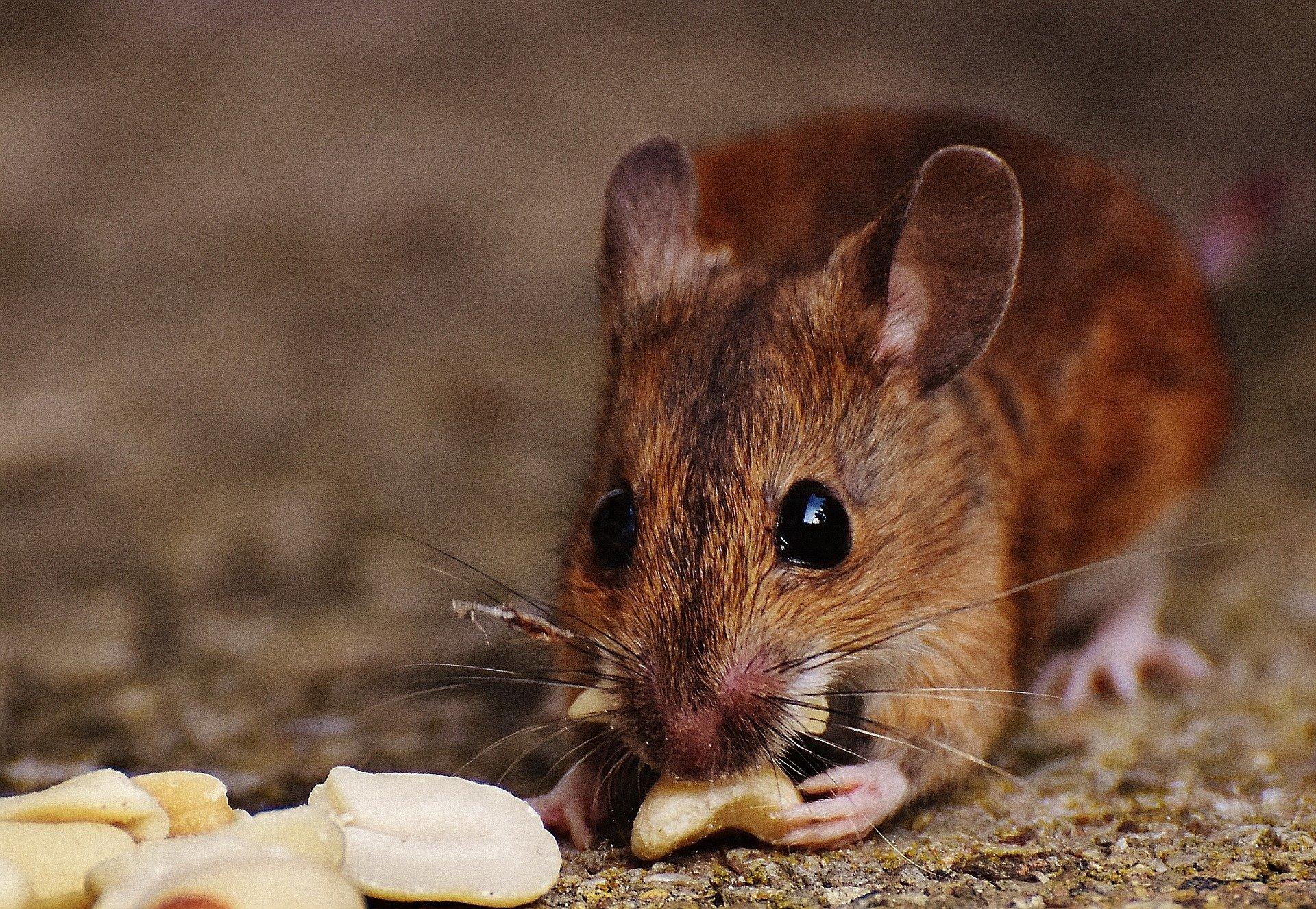 После пересадки микробиоты подопытные мыши худели, хотя питались так же, как ираньше.