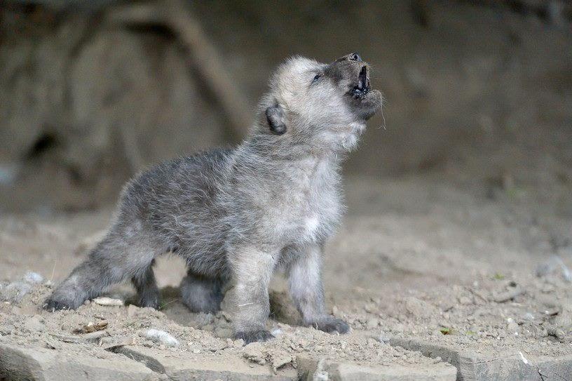 Волчата учатся выть вочень раннем возрасте.