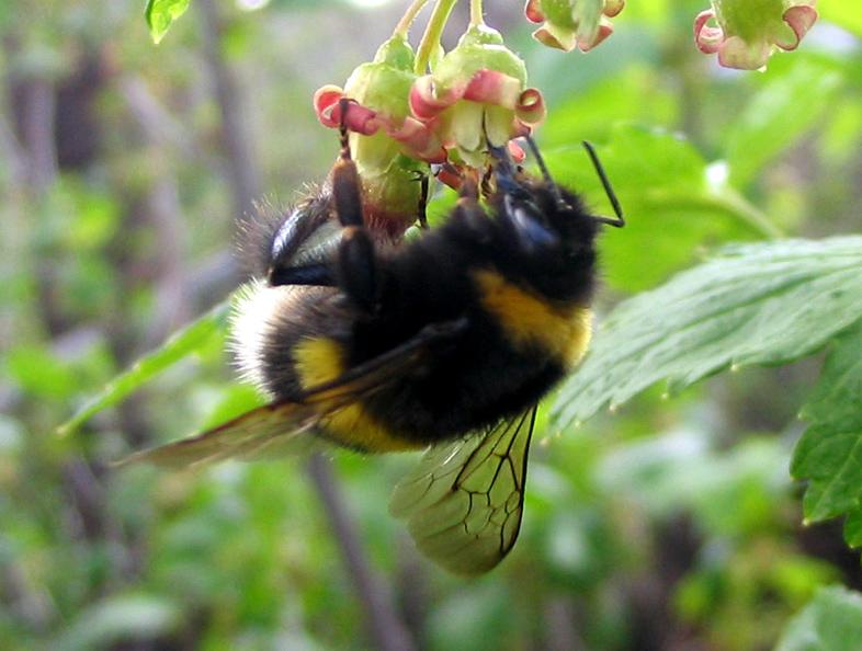 От медоносных пчёл шмели отличаются размерами иналичием назадних голенях волосков, образующих «корзиночку» для сбора пыльцы. Гнёзда шмели устраивают прямо вземле, атакже вдуплах или брошенных норах.
