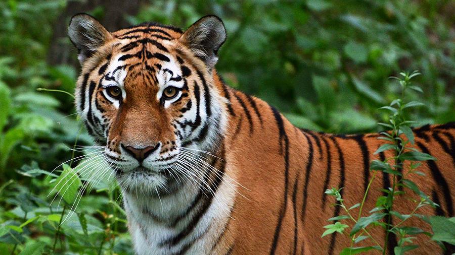 Амурский тигр— самый северный подвид тигра. Он обитает вХабаровском иПриморском краях России. Считается, что вдикой природе сейчас обитает всего около 550 особей. Животное внесено вроссийскую имеждународную Красные книги.