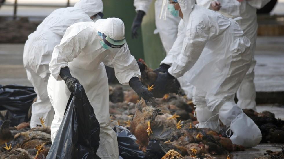 2014 год. Наптичьем рынке вКитае обнаружили особей, больных птичьим гриппом. Нафото: медики собирают тушки птиц, убитых углекислым газом.