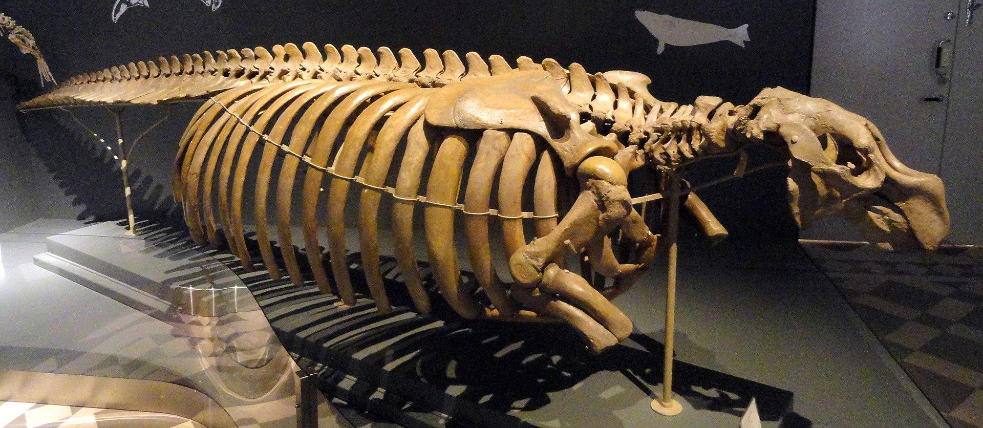 Скелет стеллеровой коровы. Выставлен вФинском музее естественной истории.
