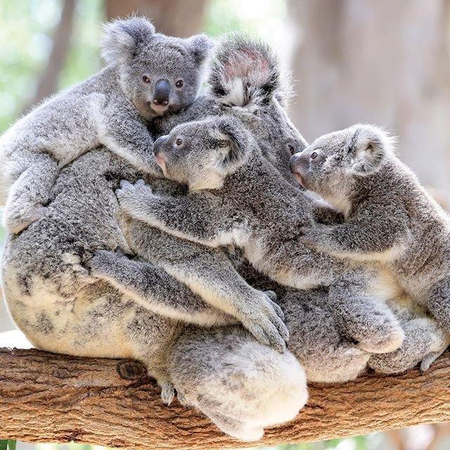 Даже коал бывает много