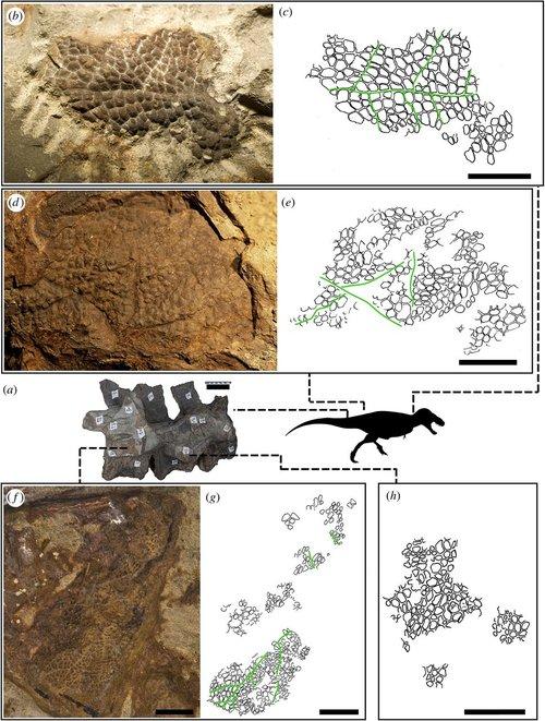 Отпечатки чешуйчатой кожи иместа натираннозавре, откуда эта кожа.