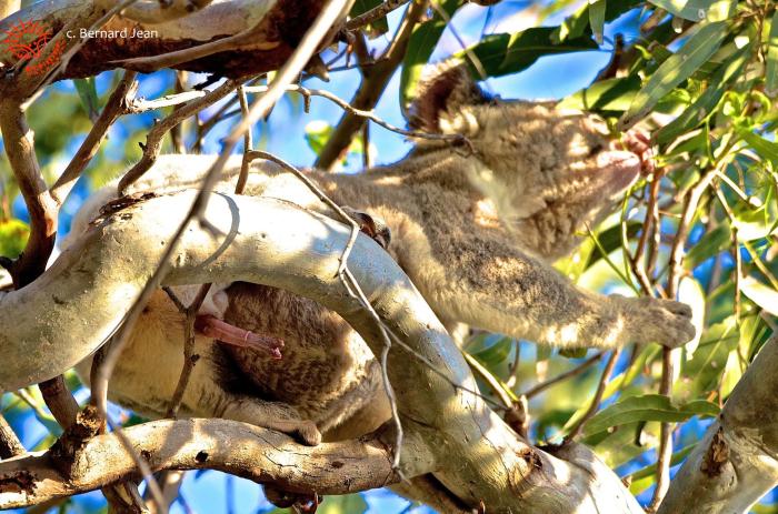 Пенис коалы