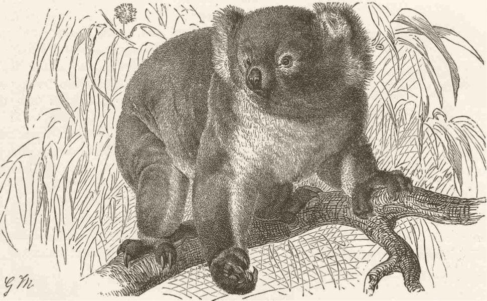Коала. Иллюстрация к«Королевской естественной истории» под редакцией Ричарда Лидеккера (Richard Lydekker), 1894.