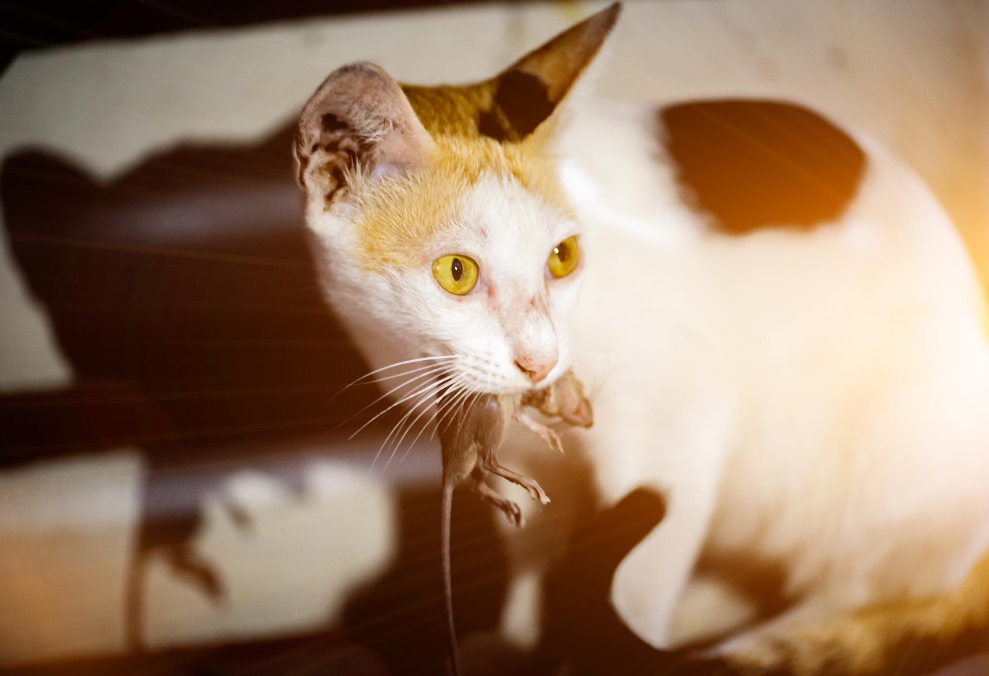 Нужно ли кошке «химическое оружие», чтобы снижать крысиное поголовье?