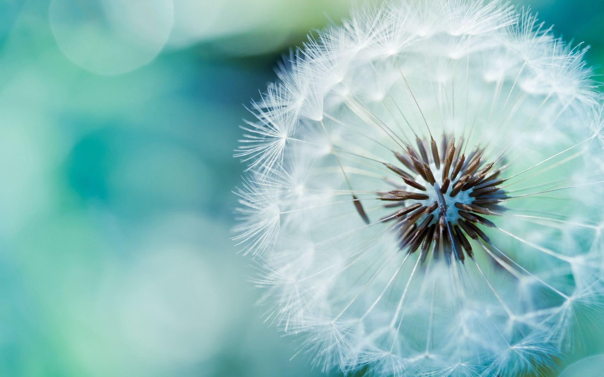 Иногда семена одуванчика могут пролетать расстояние внесколько километров.