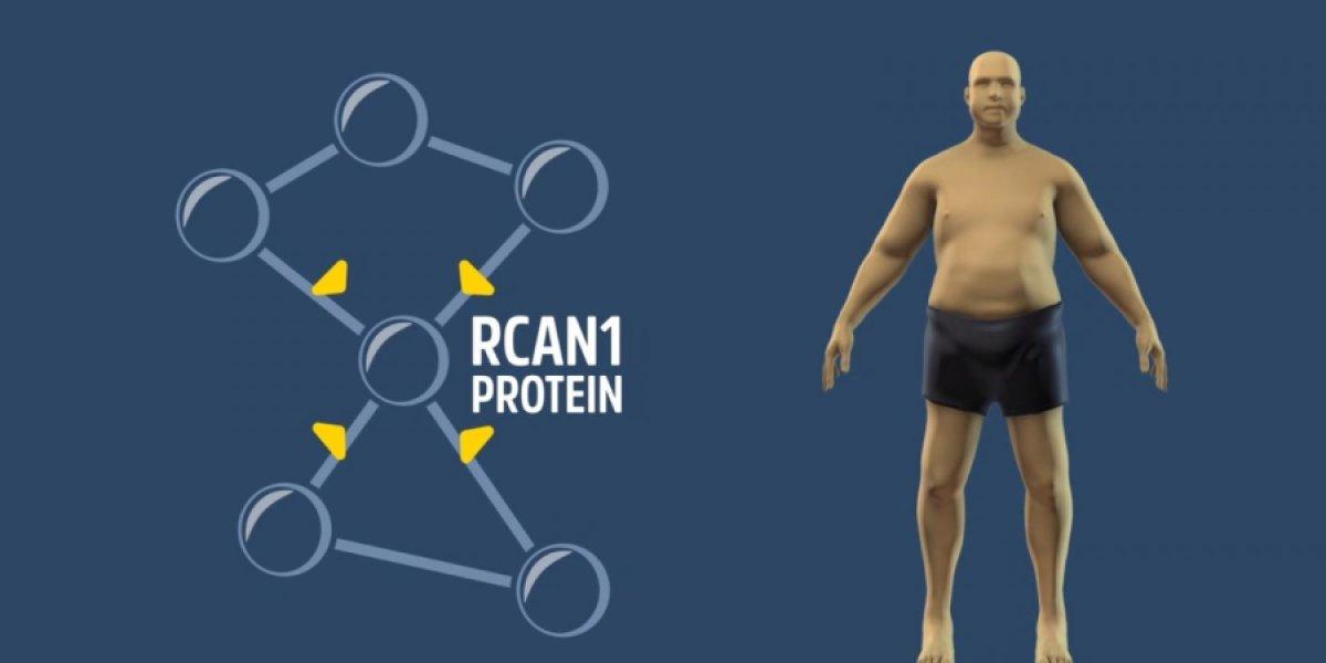RCAN1— ген ожирения?