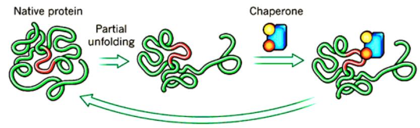Рисунок 4. Механизм действия химического шаперона. Он соединяется счастично развёрнутым белком ивосстанавливает его трёхмерную структуру