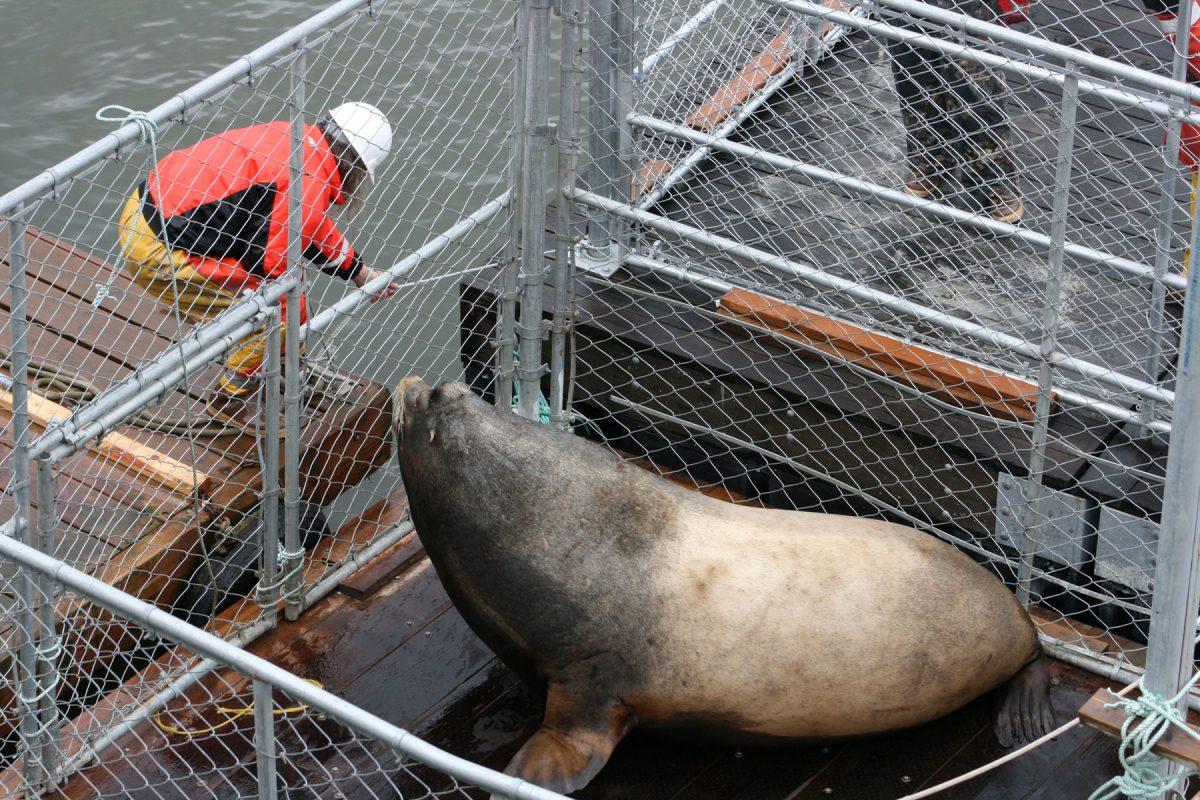 Хью (от слова «humongous»— «огромный») весит чудовищные 660 килограммов— это самый большой из зарегистрированных калифорнийских морских львов. Его поймали в2008 году удамбы Бонневиль (Bonneville Dam) нареке Колумбия, между Вашингтоном иОрегоном, вещё одном районе, где хозяйничают морские львы. «Он был первым зарегистрированным гибридом, полученным от скрещивания калифорнийского морского льва сдирижаблем Goodyear»,— шутит Стив Джеффрис (Steve Jeffries) из Вашингтонского департамента по охране рыбы идикой природы