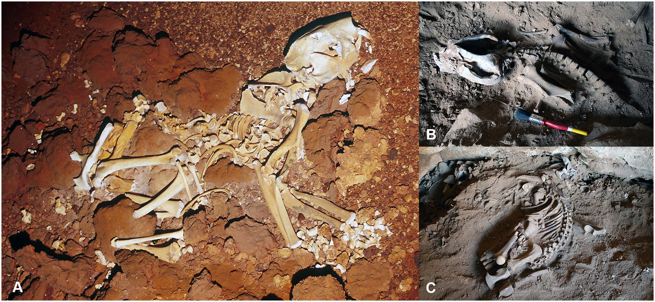 Учёные проанализировали два скелета <i>Thylacoleo carnifex</i>, чтобы реконструировать тело древнего хищника.