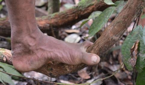Пигмеи хватаются большим пальцем за ветви при лазании