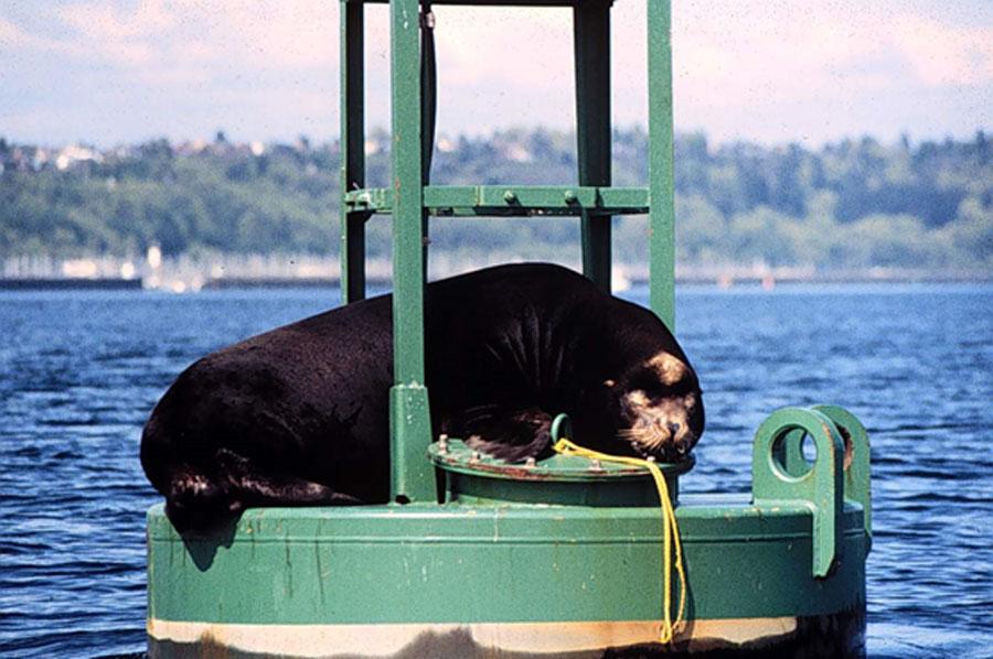 Гершель, скандально известный калифорнийский морской лев, блаженствует, используя для отдыха навигационный буй вгавани Шилсхол вСиэтле, около шлюзов Хирама М. Читтендена (примерно 1984 год). Фото Национальной администрации США по исследованию океанов иатмосферы