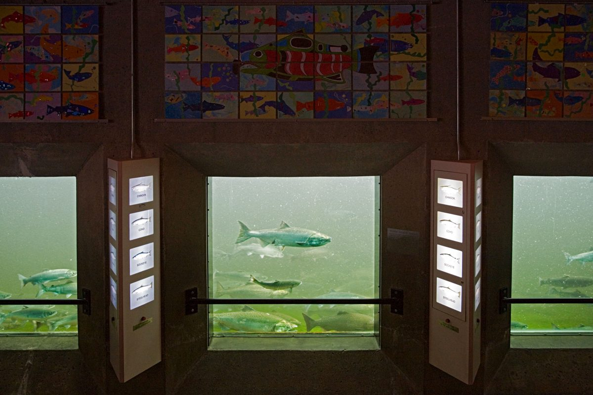 Сейчас, посетив шлюзы Хирама М. Читтендена, вы можете через смотровое окно увидеть, как мимо вас проплывает лосось, но вряд ли вам удастся заметить хотя бы одну стальноголовую форель.