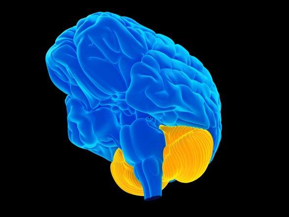 Мозжечок ответственен нетолько за координацию движений.