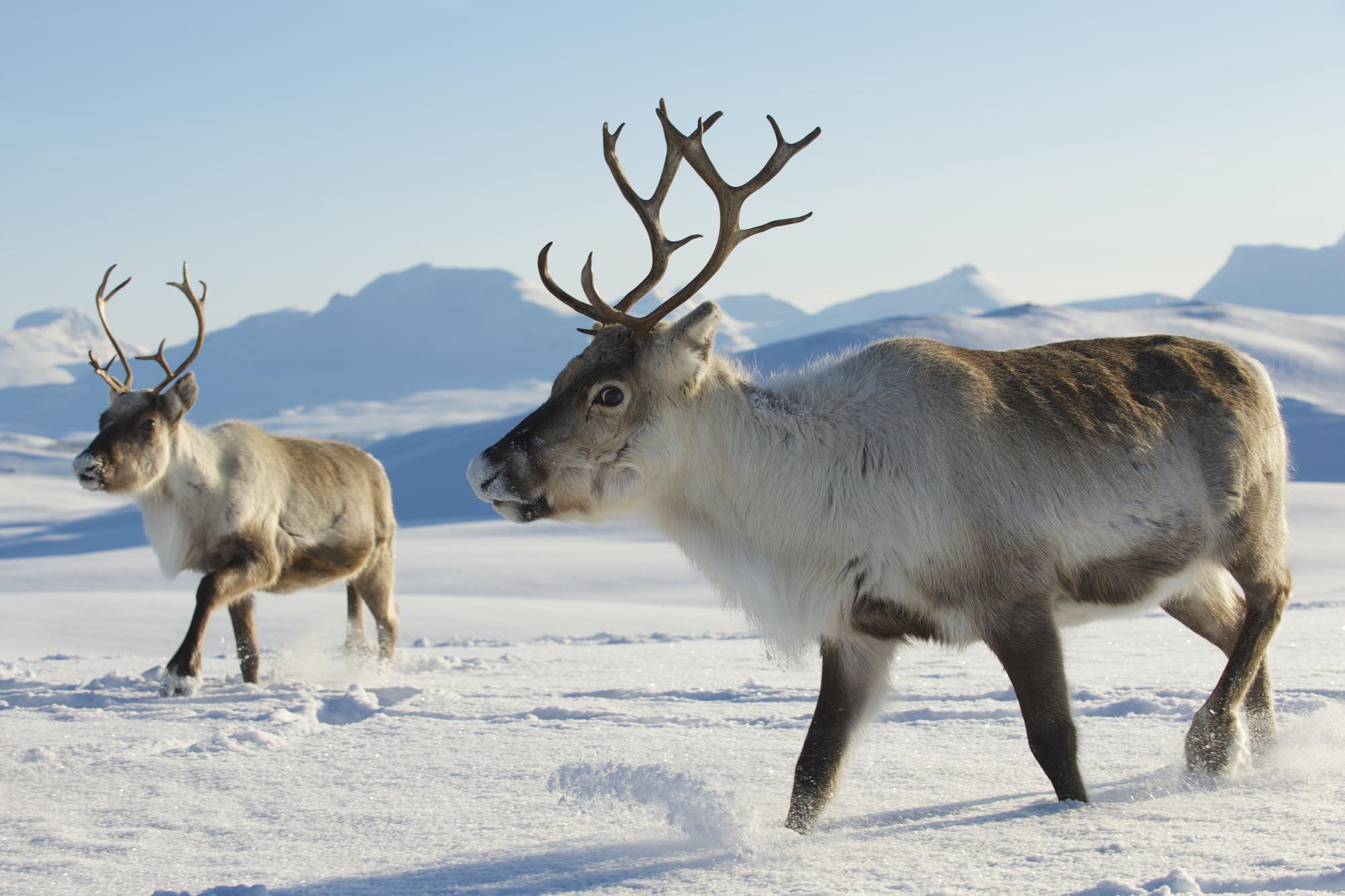 Северные олени неподалёку от Тромсё, север Норвегии. Согласно новому исследованию, с80-х годов ХХ века численность популяций северного оленя икарибу во всем мире снизилась более чем на56 процентов