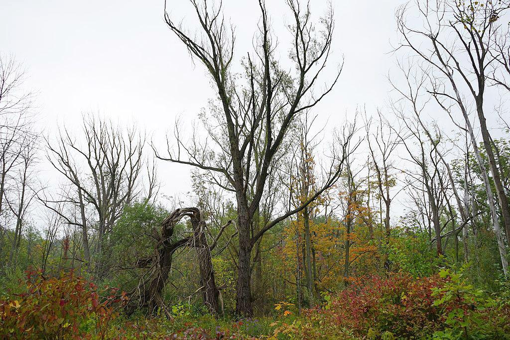 Ясень, убитый изумрудной узкотелой златкой.