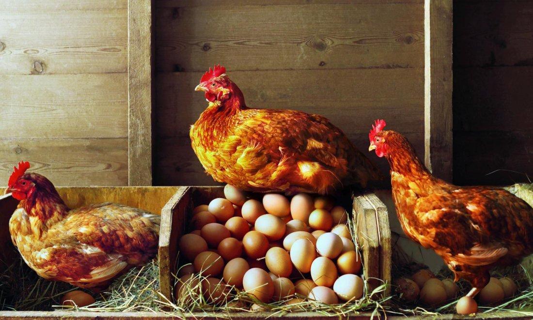 Генетически изменённые куры могут нести яйца— сырьё для производства лекарств.