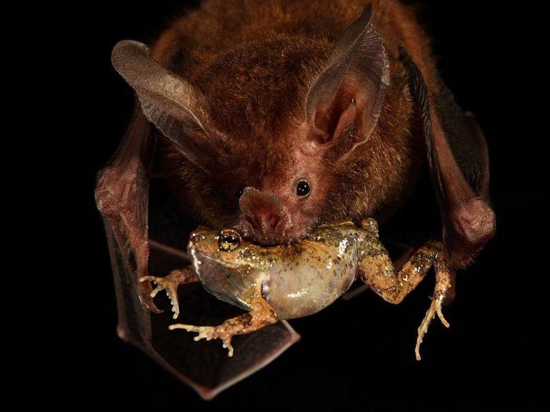 Летучая мышь стунгарской лягушкой взубах