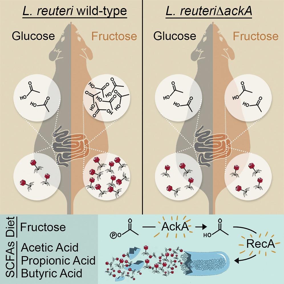 Схема высвобождения вируса умышей при приёме глюкозы ифруктозы.