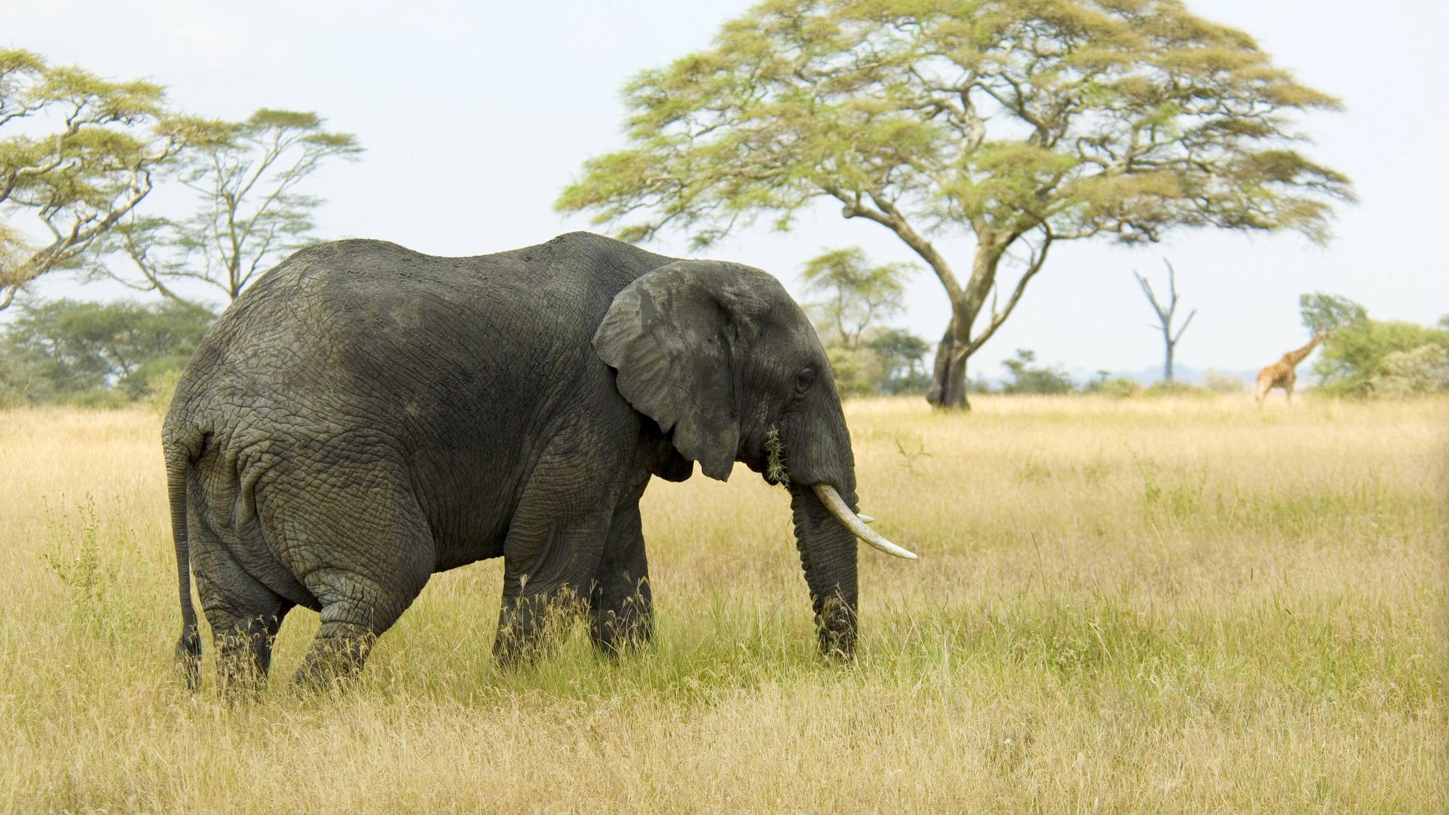 Слонов сбивнями остаётся всё меньше.