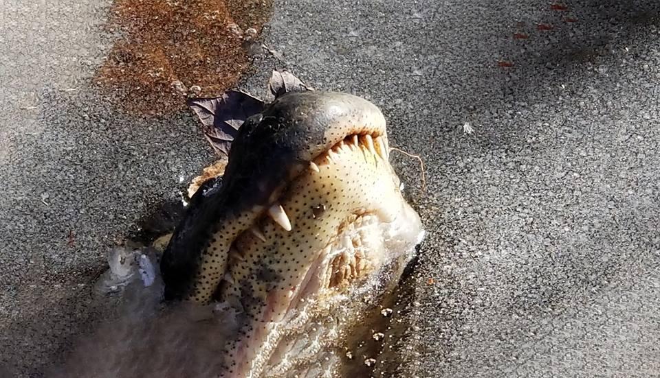 Аллигатор всостоянии брумации свысунутым надо льдом носом.