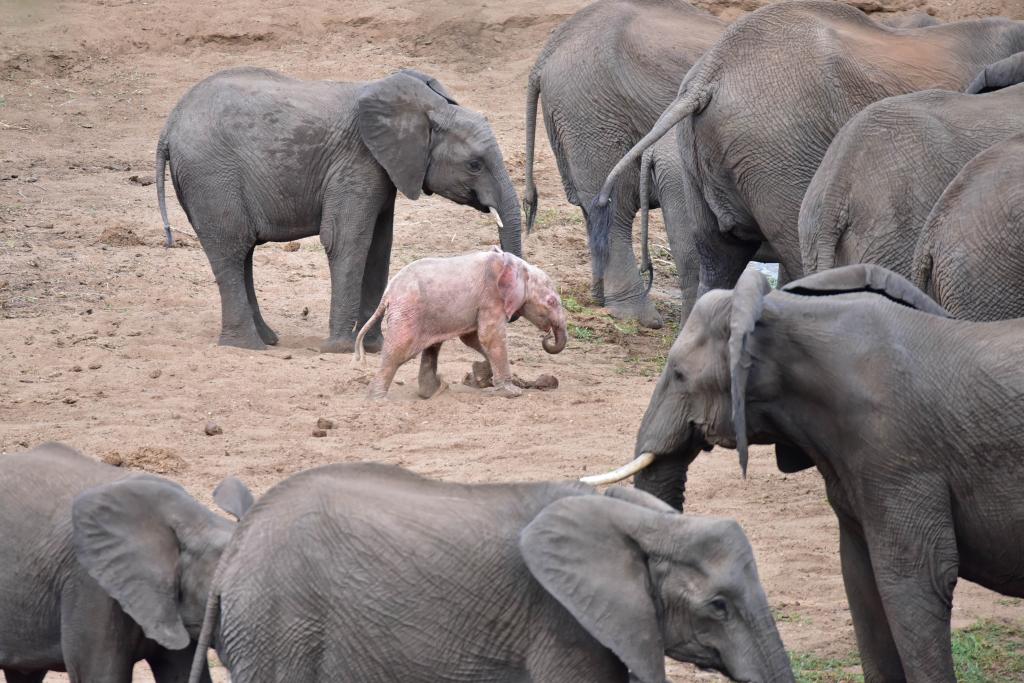 Видели ли вы слонов-альбиносов?