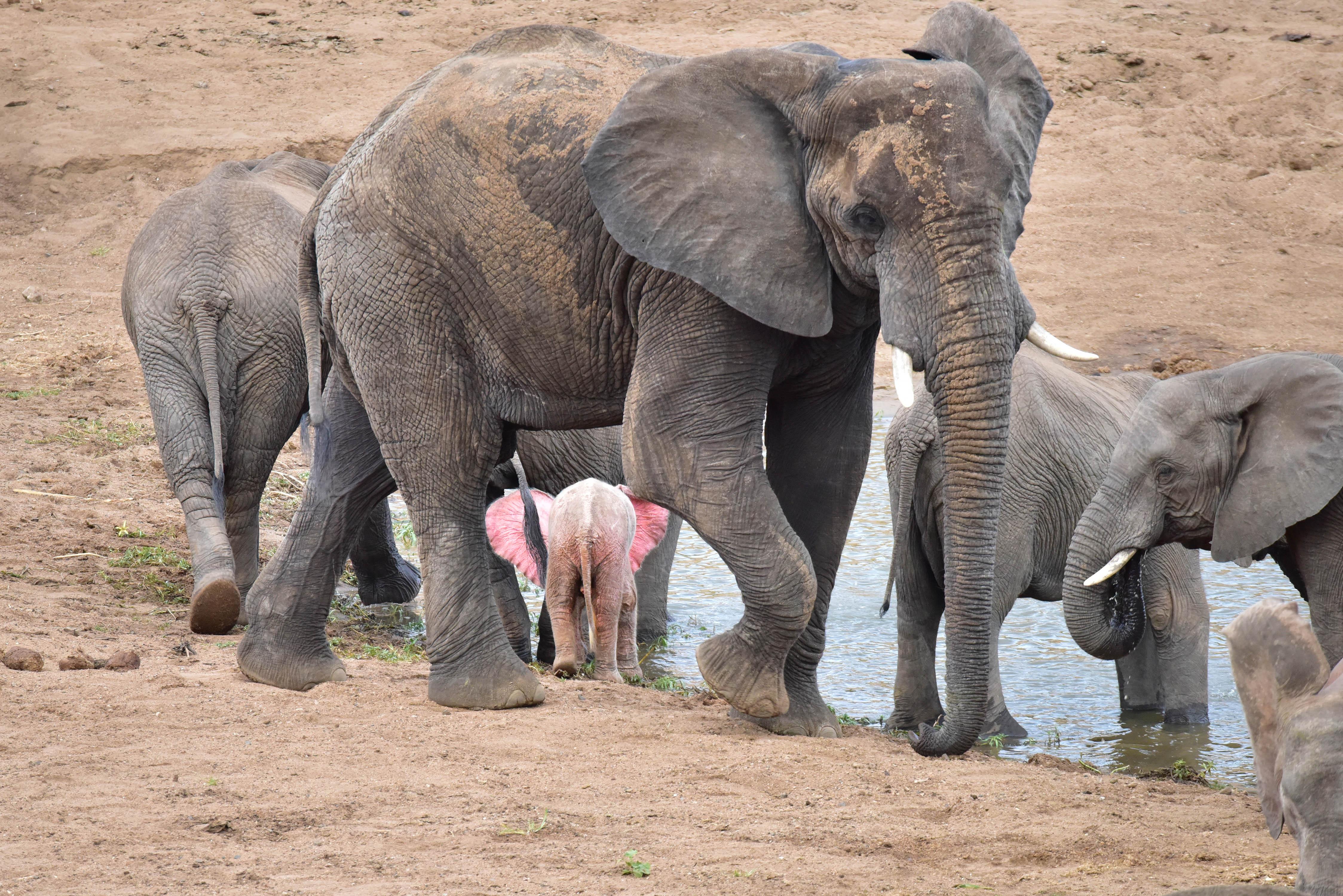 Розовый слонёнок. Фото: Nicki Coertze.