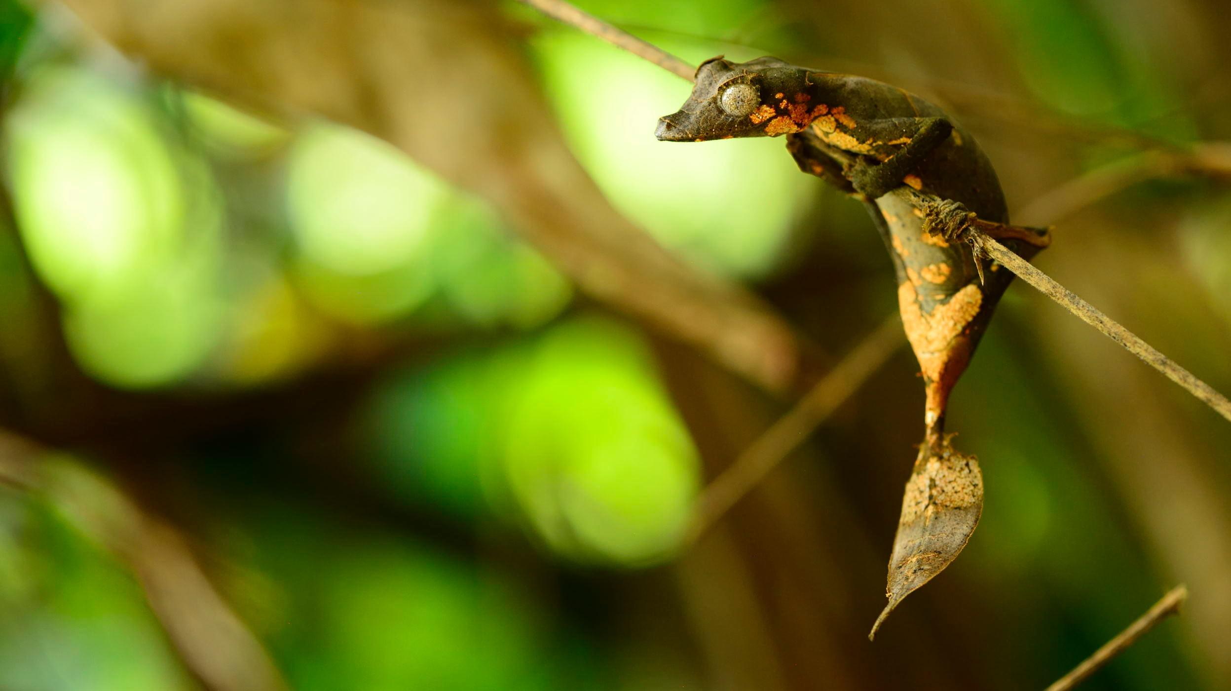 <i>Uroplatus finaritra</i>— новооткрытый вид.