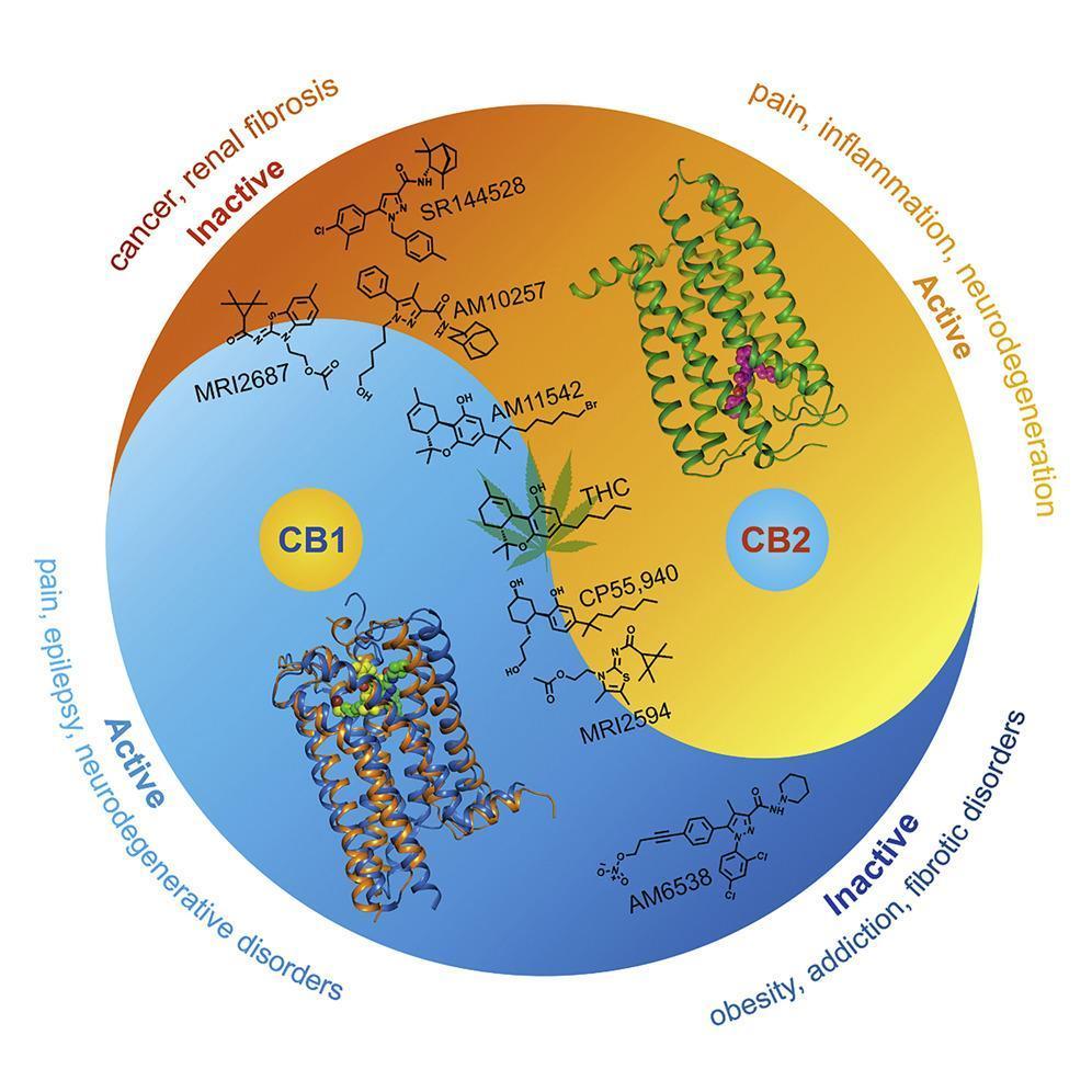 Рисунок 2. Состояния, которые можно изменить спомощью активации или блокирования CB1 или CB2 по отдельности. Источник: Xiaoting Li et al., Cell