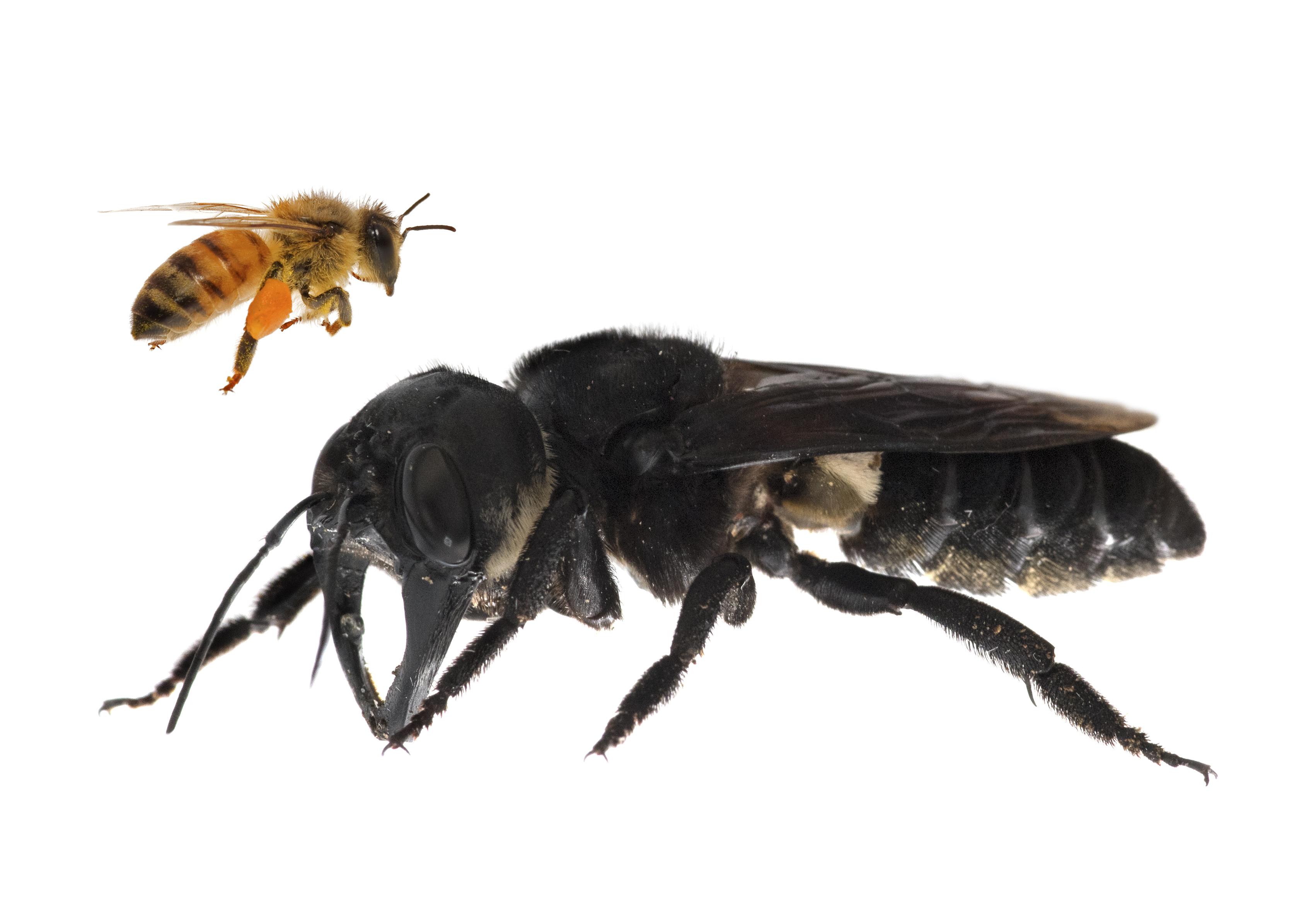 <i>Megachile pluto</i>— самая крупная напланете пчела (для сравнения изображена обычная медоносная пчела). Фото: Clay Bolt