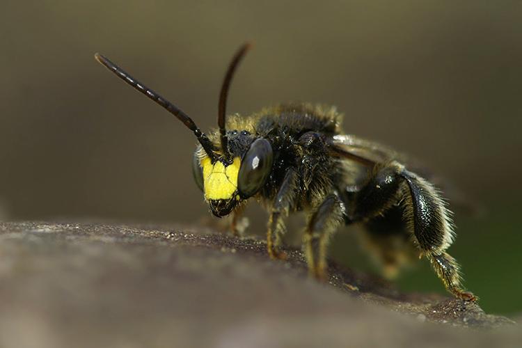 """Пчела-мелиттида Macropis europaea. Занесена в""""красный список"""" МСОП как вид, численность которого снижается. Фото— Henk Walleys."""