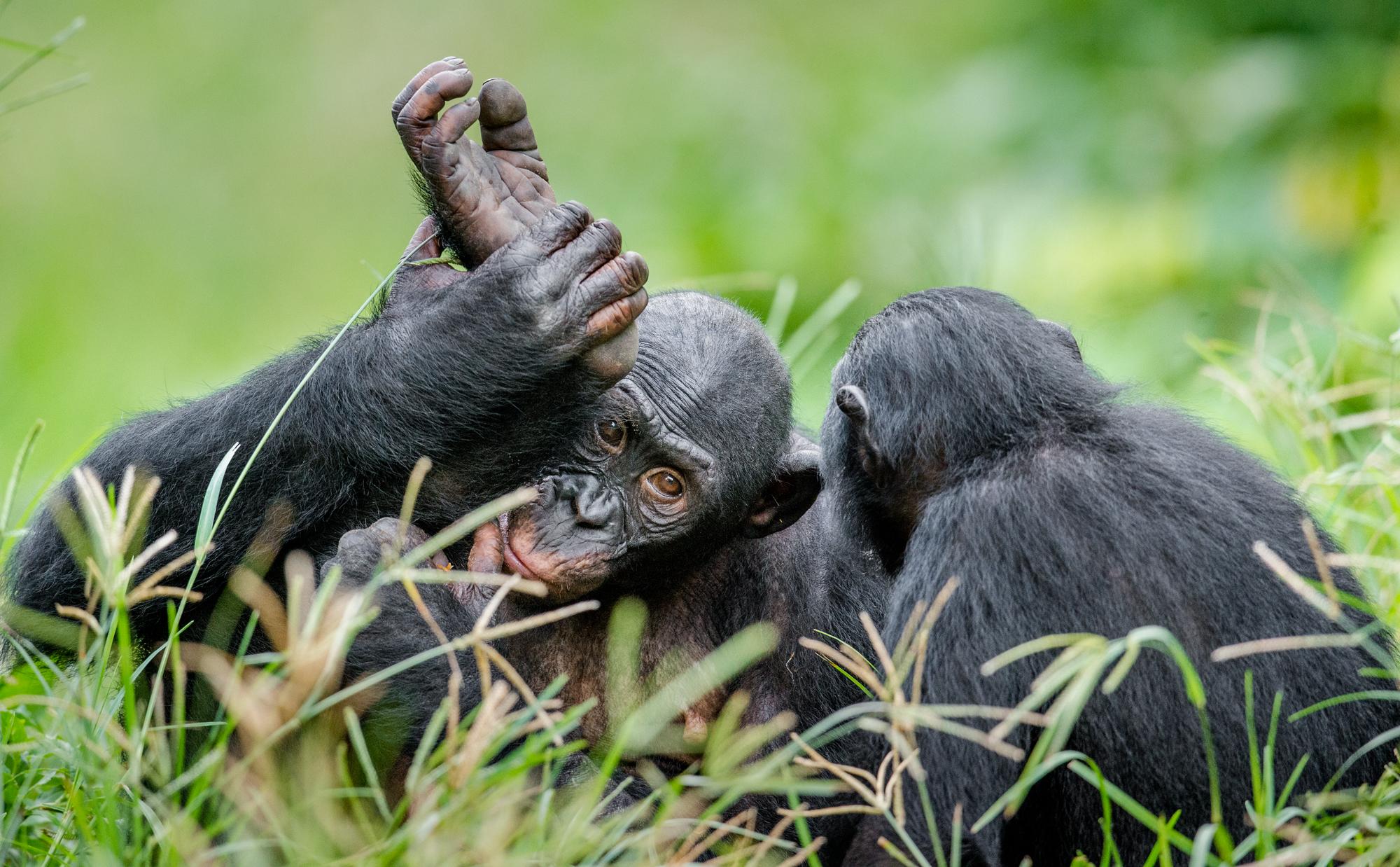 Бонобо вестественной среде.