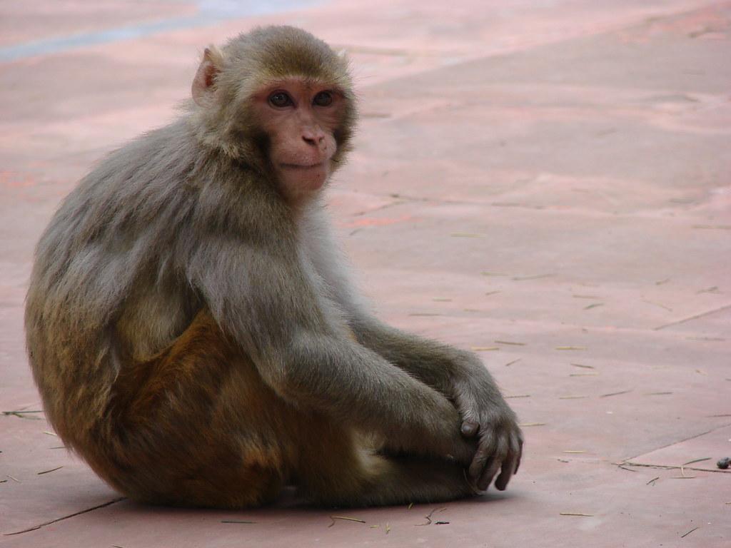 Этичны ли генетические модификации приматов?