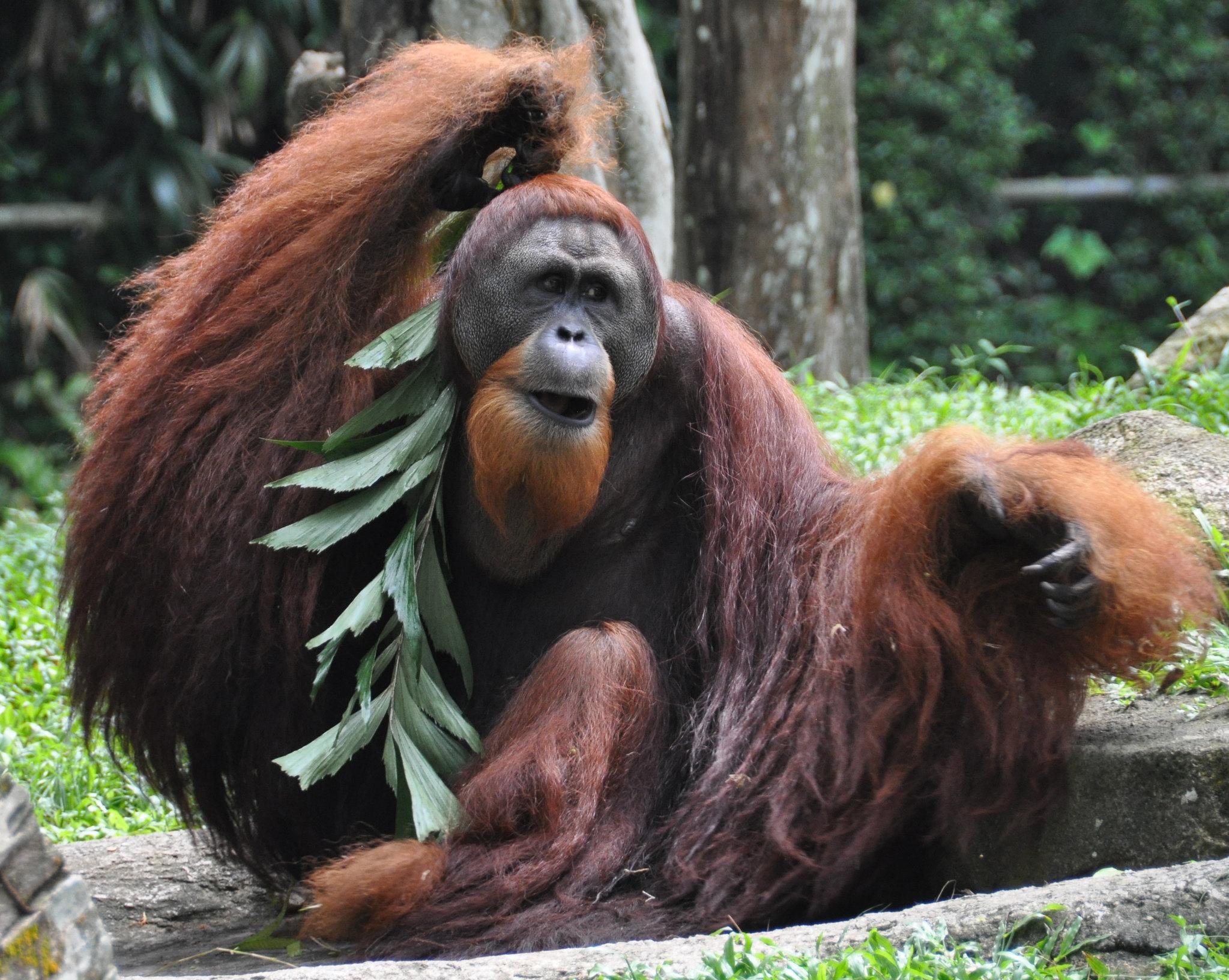 Всохранении популяции орангутанов может помочь их точный учёт.