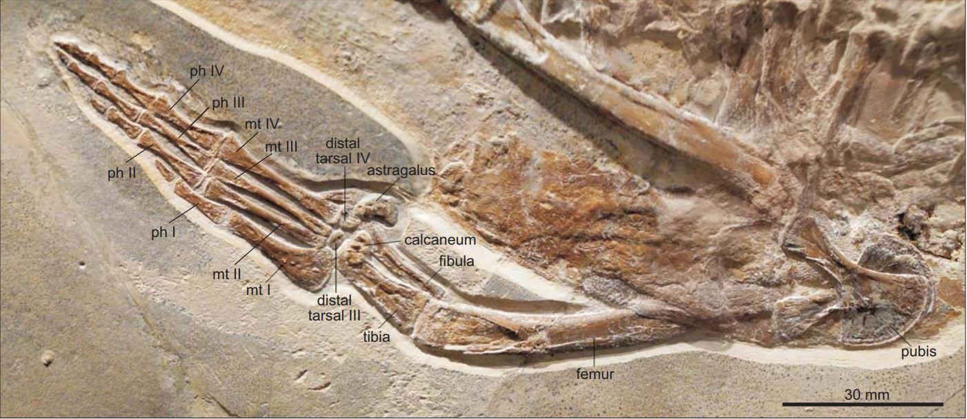 Cricosaurus bambergensis