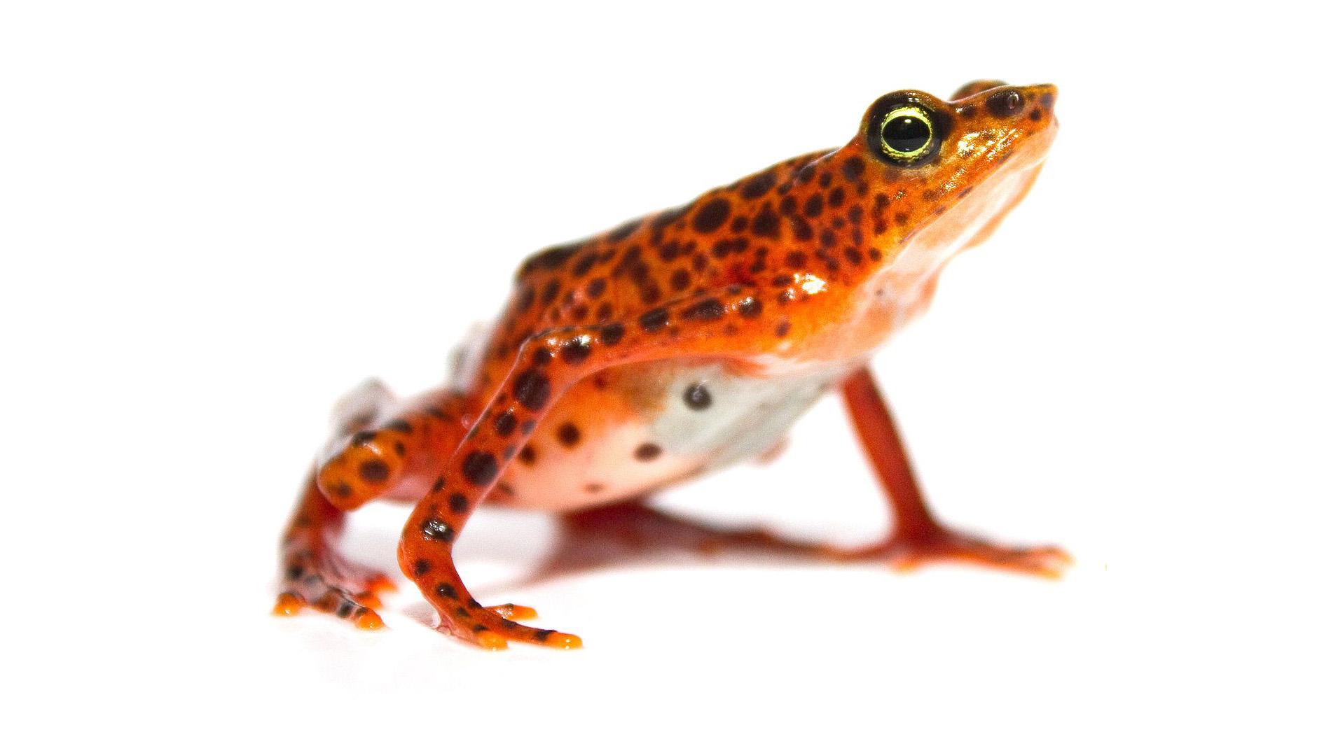 Панамский арлекин. Этот вид жаб сильно пострадал от хитридиомикоза— поражения грибком Bd (на фото— здоровая особь).