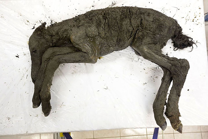 Мумии жеребёнка, найденной вВерхоянском районе Якутии, 42 тысячи лет