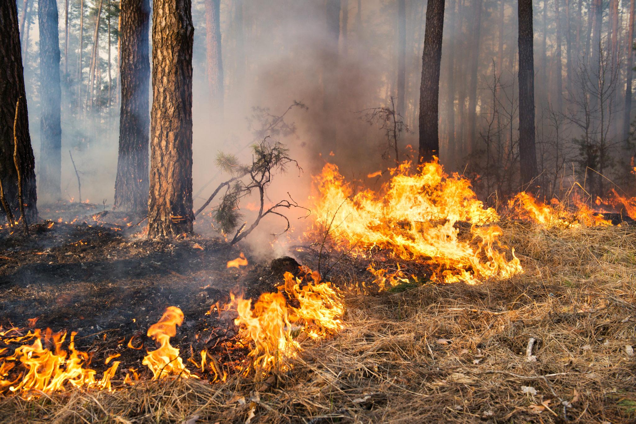 Коренные американцы, выжигая подлесок, оказали наформирование лесов Восточной части США бо́льшее влияние, чем естественные изменения климата.
