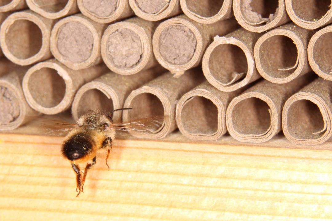 Дикие пчёлы используют картонные трубки для обустройства гнезда.