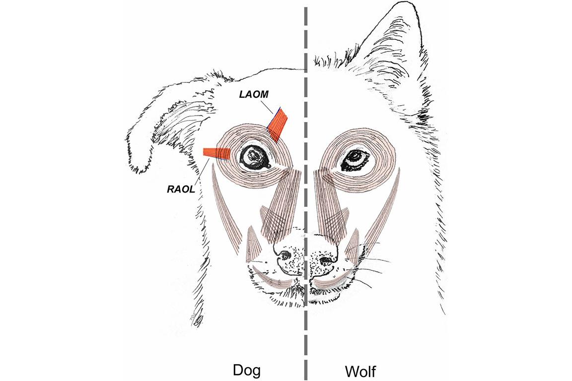 Схематическое изображение выявленного исследованием отличия лицевой мускулатуры собаки от лицевой мускулатурыволка. Усобак присутствует развитая мышца, приподнимающая бровь, вто время как уволков наэтом месте— «лишь скудные мышечные волокна, окружённые большим количеством соединительной ткани». Также исследователи отметили, что мышца, тянущая веко куху, присутствует иу собак, иу волков, но «у волков обычно более грацильна» (вывод наоснове исследования тел четырёх волков ишести собак).