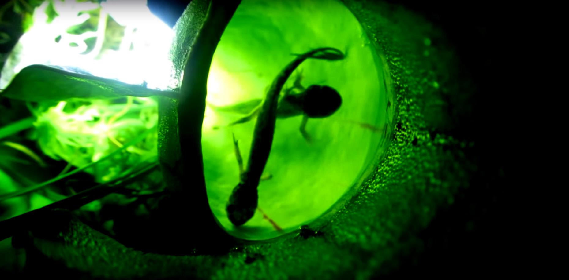 Две молодые желтопятнистые амбистомы (<i>Ambystoma maculatum</i>) попали в«ловушку-кувшин» саррацении пурпурной.