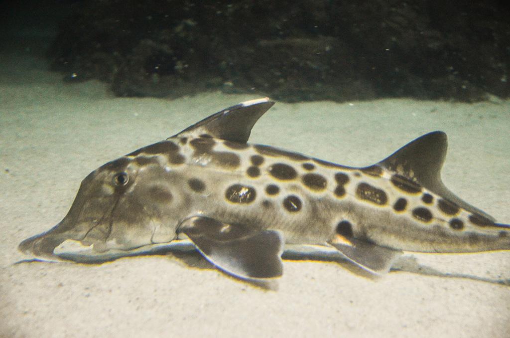 Слоновые акулы-призраки, или австралийские каллоринхи (Callorhinchus milii), обитают упобережья Южной Австралии.