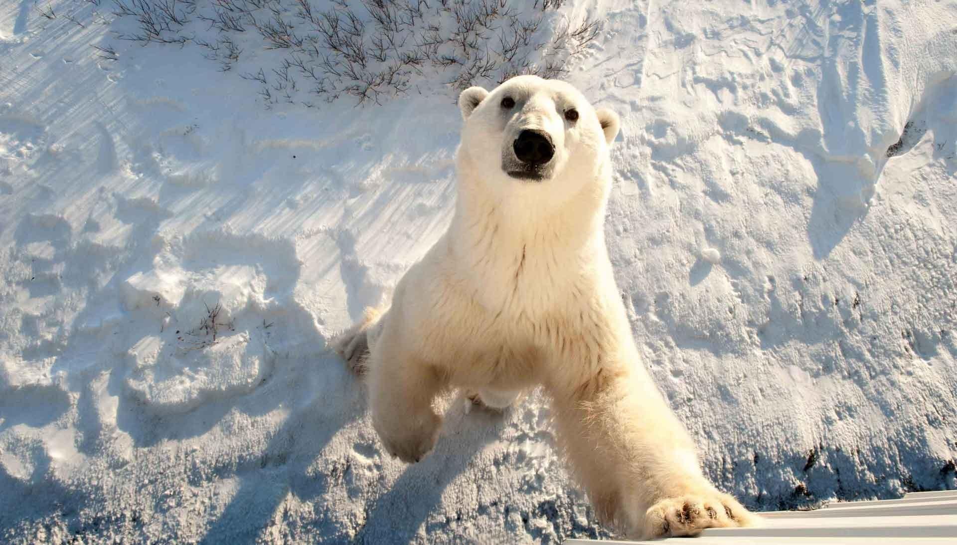 Белый (полярный) медведь