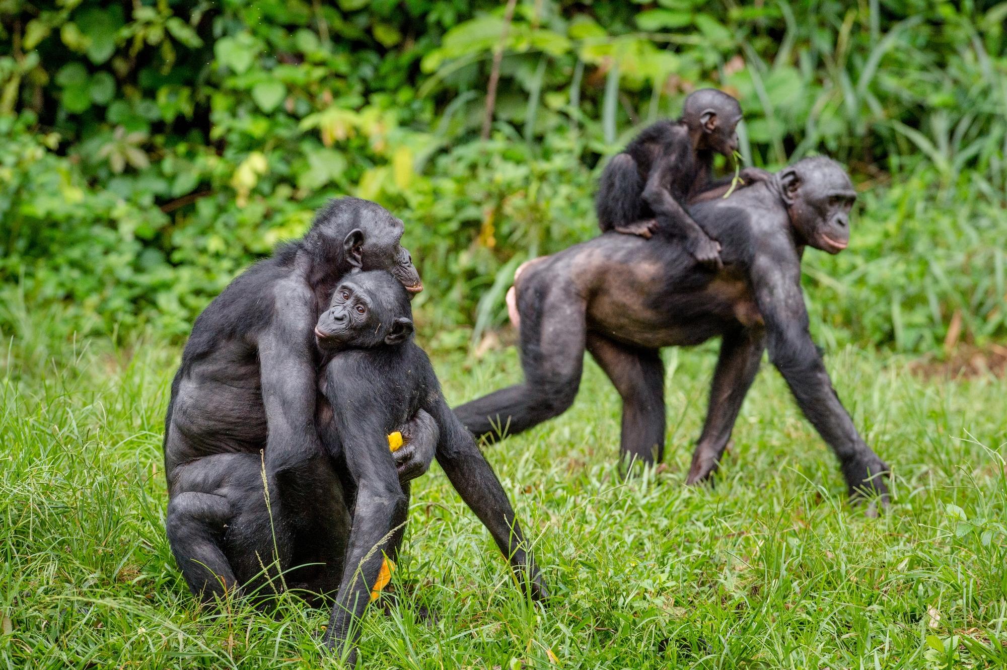 Пара бонобо спаривается. Мимо проходит самка сдетёнышем.